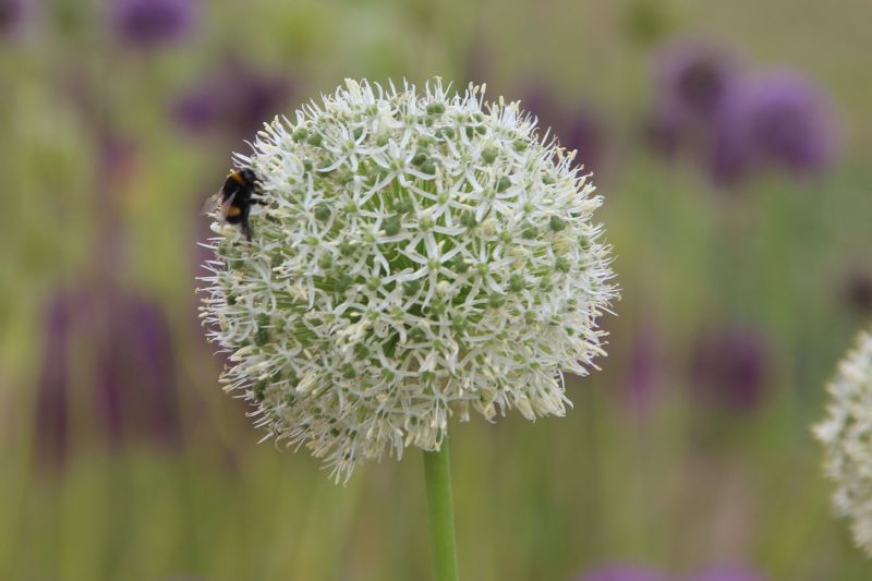 Allium 'Mount Everest'  bestellen